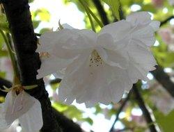 Sakura2_8