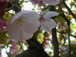 Sakura5_3